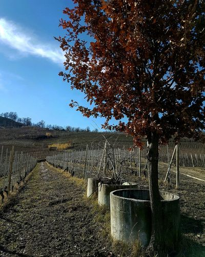 Nature Tree Sky Outdoors No People Beauty In Nature Day Barolo Wineyards Winter Travel Destinations Agriculture Vineyards In Winter Piedmont Italy Langhe Clear Sky Scenic View Tree Nature Oak Tree Beauty In Nature Calming Views Tranquility Blue Growth