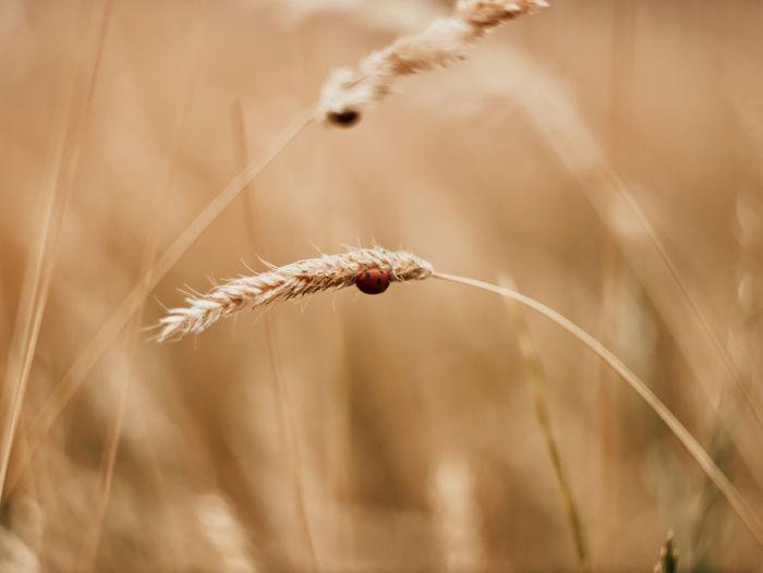 Close-up of ladybug on wheat