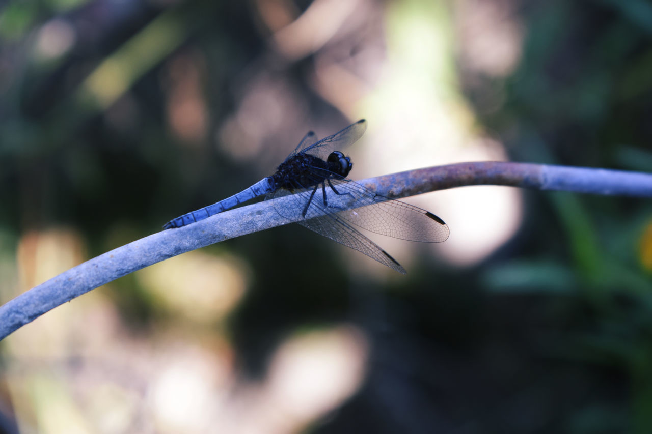 insect, one animal, animal themes, animals in the wild, focus on foreground, animal wildlife, damselfly, day, nature, close-up, outdoors, no people, blue, spread wings, beauty in nature, perching