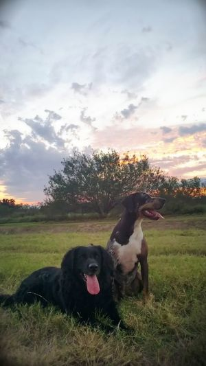 Dog Grass Domestic Animals Pets Cloud - Sky Mammal Field Sky Animal Themes No People Sunset Nature Outdoors Day Tree Catahoula Leopard Dog Catahoula CatahoulaHound Flat Coated Retriever Dogs Of EyeEm Dogslife Dogsofinstagram Dogs_of_instagram Dogsarefamily Dogsareawesome
