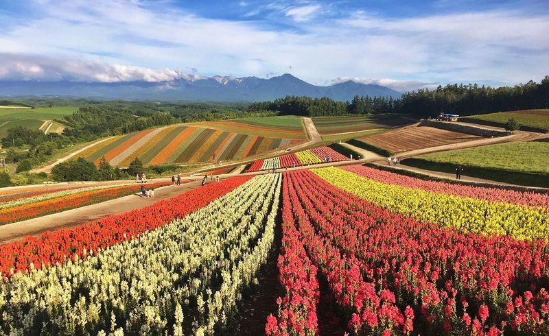 Flower Field Colors Summer Hokkaido,Japan Biei Farm Blue Sky Japan Flowers Furano