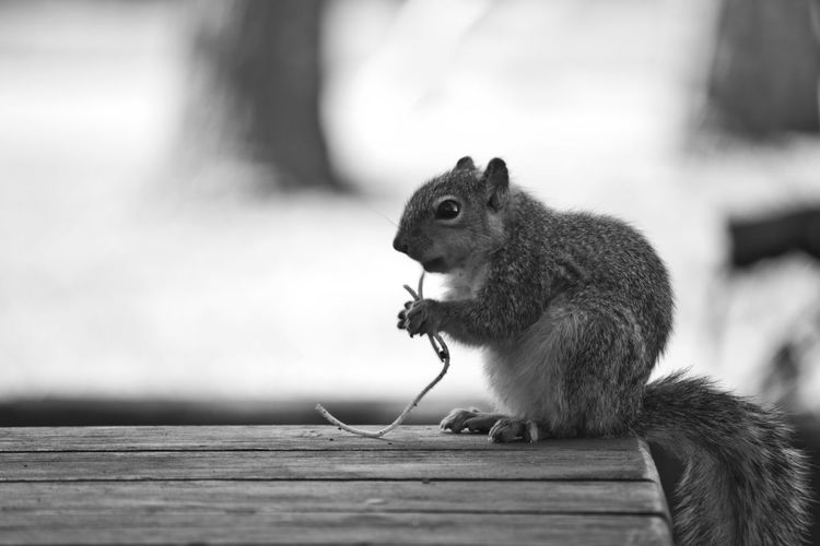 A squirrel enjoying some fine dining in Moraga, California What's For Dinner? Squirrel Nature Enjoying Life Hello World Blackandwhite Canonhttp://www.pitcrewproductions.com Black And White Friday