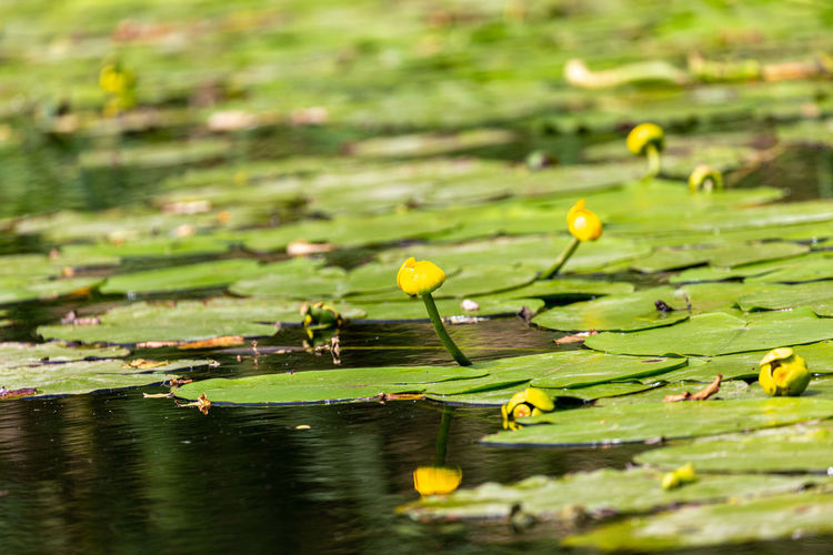 Water lily leaves floating on lake