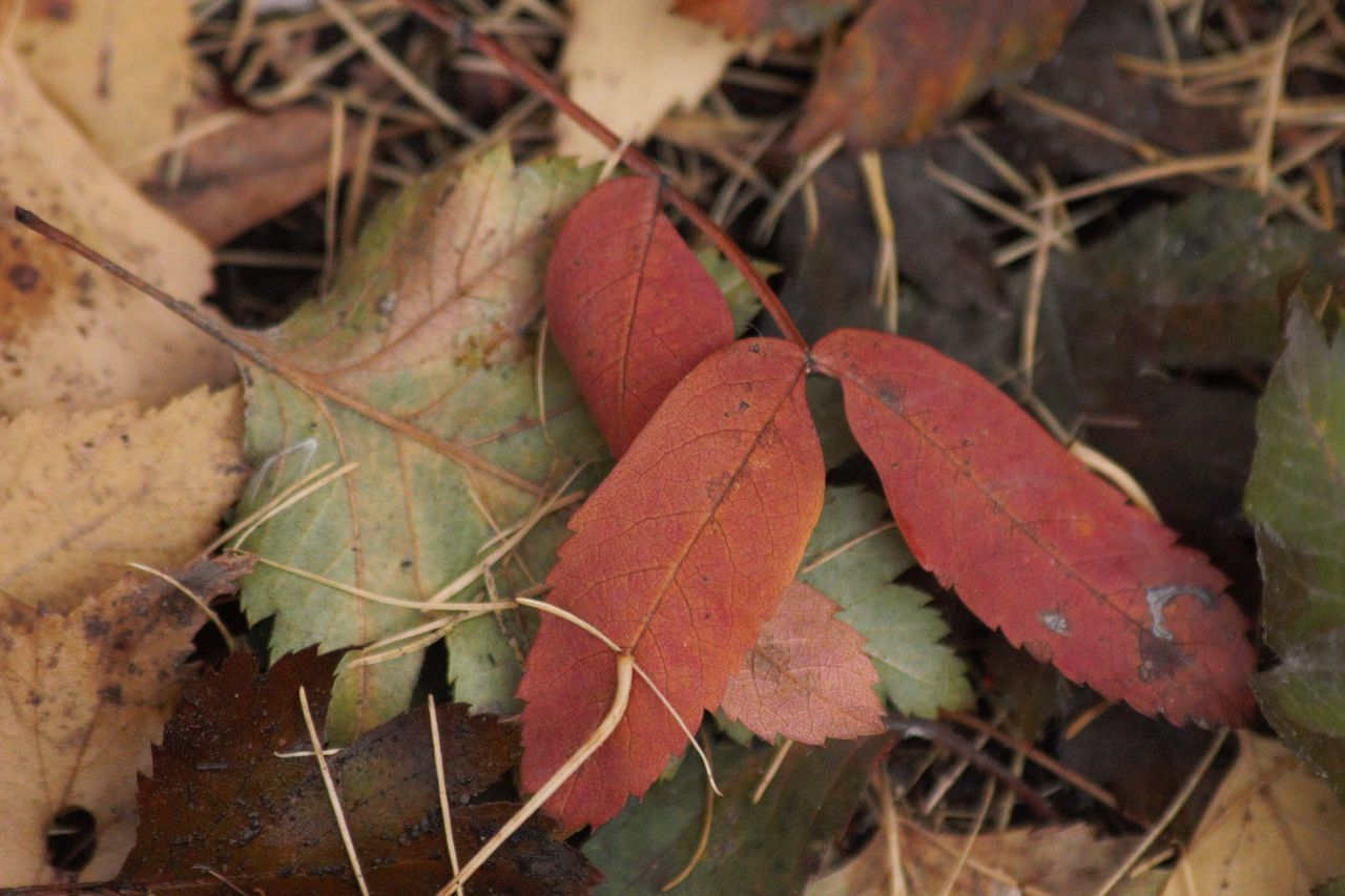 CLOSE-UP OF AUTUMNAL LEAVES ON LAND