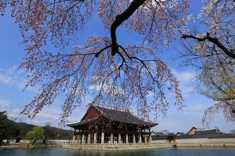 Cherry blossoms in the gyeongbukgong palace. south korea.