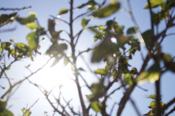 Blue Blue Sky Canon Eoskissx7i EyeEm Best Shots Flower Focus On Background Growth Hachijo-island Hachijojima Japan Leaf Light Nature Nofilter Nopeople OpenEdit Sunset Sunshine Tree Winter 八丈島
