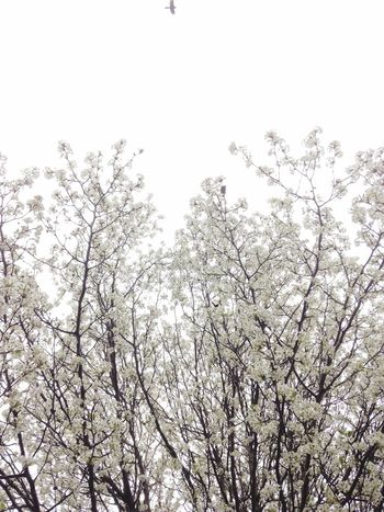 There's always that one Bird that has to Photobomb your picture. Bradford Bradford Pear Spring Ihatespring Bringbackwinter