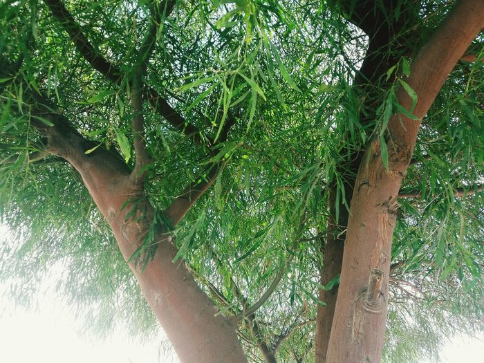 Tree Outdoors Branch Low Angle View Day Growth Nature Tree Trunk Beauty In Nature No People Close-up Sky Freshness Beauty In Nature Green EyeEmNewHere