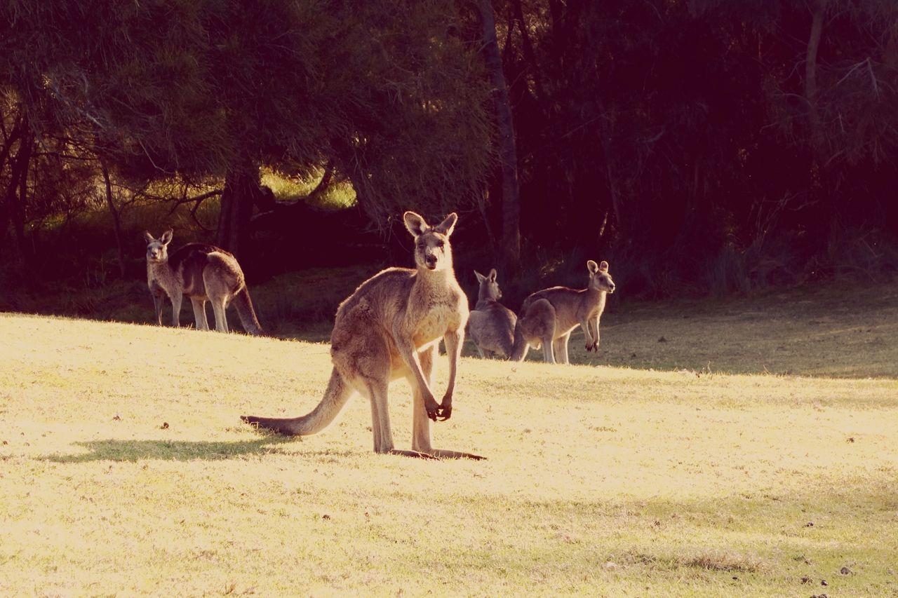 Kangaroos On Field