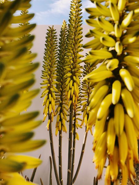 Yellow agave blooms in the desert Yellow Flower Desert Plants Desert Life Desert Agave Growth Plant Beauty In Nature Yellow Close-up No People Freshness Nature Day Flower Flowering Plant Outdoors Vulnerability  Flower Head Focus On Foreground Sky