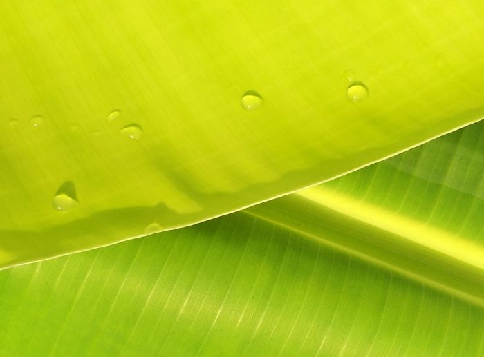 Softly focus of water drops on surface of green banana leaves for natural background concept Outdoor Colorful Surface Pattern Natural Background Refreshing Freshness Leaves Warming Sunlight Growing Bloom Softly Focus Backgrounds Leaf Full Frame Textured  Environment Close-up Green Color Banana Leaf Droplet Water Drop Plant Life Detail Banana Tree RainDrop Photosynthesis Dripping