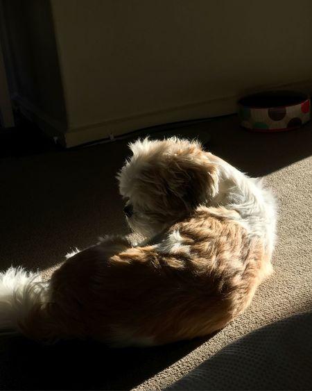Animal Close-up Dog Dost Indoors  Lhasa Apso Looking At Camera Pets Shitzu Silhuette
