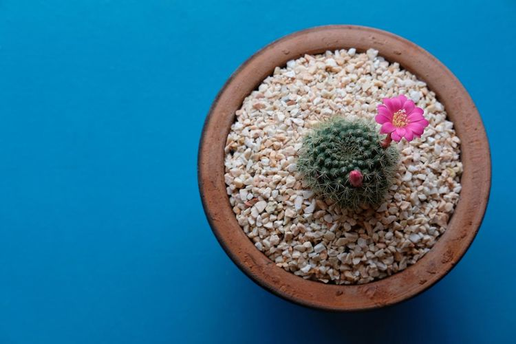 Cactus flower Cactus Plant Cactus Collection Cactus Garden Cactus Flower Cactus EyeEm Selects Food Food And Drink Bowl Still Life Studio Shot Healthy Eating Table Directly Above No People Freshness Blue Close-up Multi Colored Indoors  Cereal Plant Ready-to-eat Day