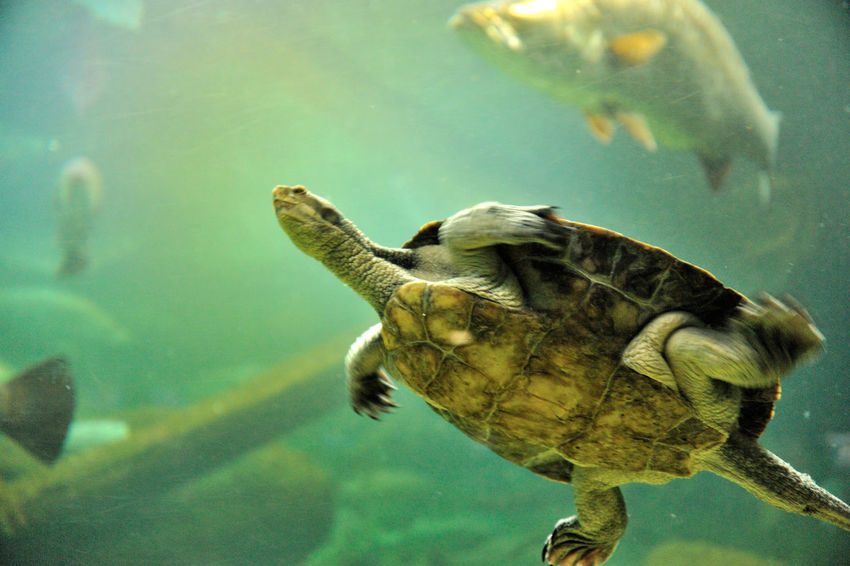 Animal Themes Animal Wildlife Animals In The Wild Aquarium Beauty In Nature Close-up Day Nature No People One Animal Sea Life Swimming Tortoise Turtle UnderSea Underwater Water Wildlife
