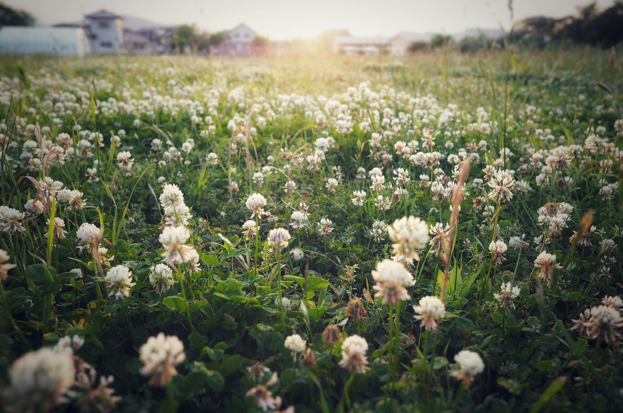 flower, flowering plant, plant, field, growth, land, beauty in nature, freshness, vulnerability, fragility, selective focus, nature, no people, day, close-up, landscape, tranquility, abundance, environment, white color, outdoors, flower head