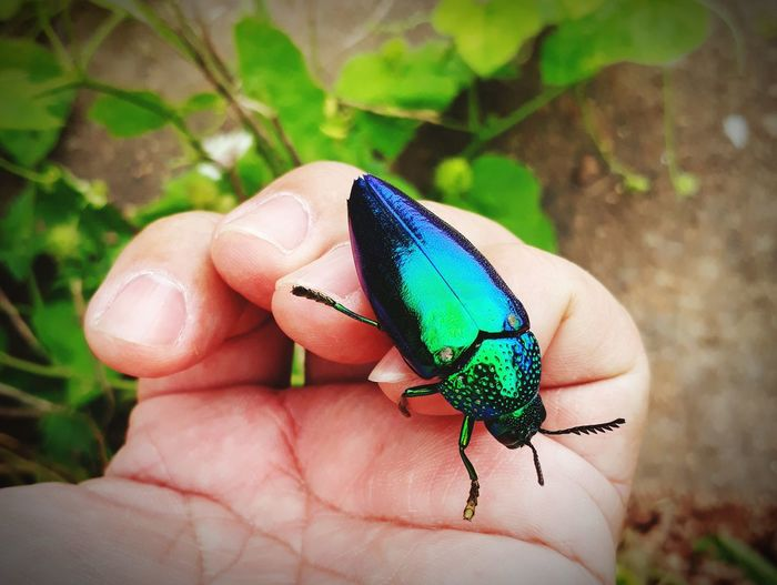 Scarab with beautiful wings. Human Hand Fingernail Insect Holding Close-up Fingerprint Fingerprint Fingerprint Fingerprint Fingerprint Fingerprint Handprint Beetle Damselfly Chameleon Ladybug Peacock Bug Mating Madagascar  Exotic Pets Animals Mating Arthropod Animal Antenna Peacock Feather Butterfly - Insect Palm Tiny Reptile Lizard