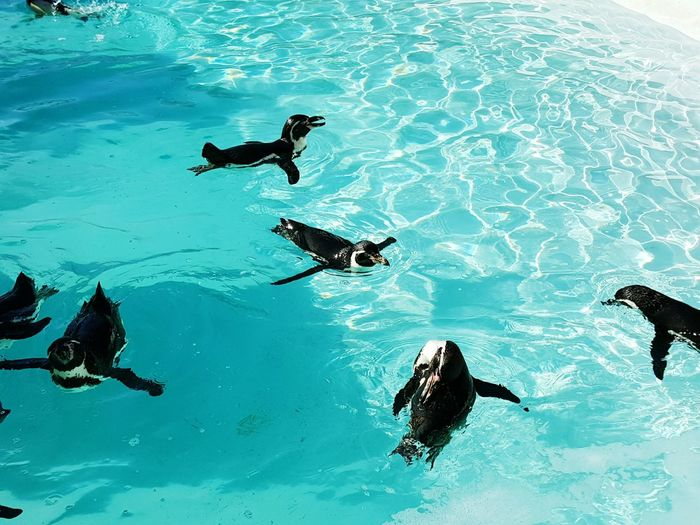 High angle view of penguins swimming in pool at aquarium