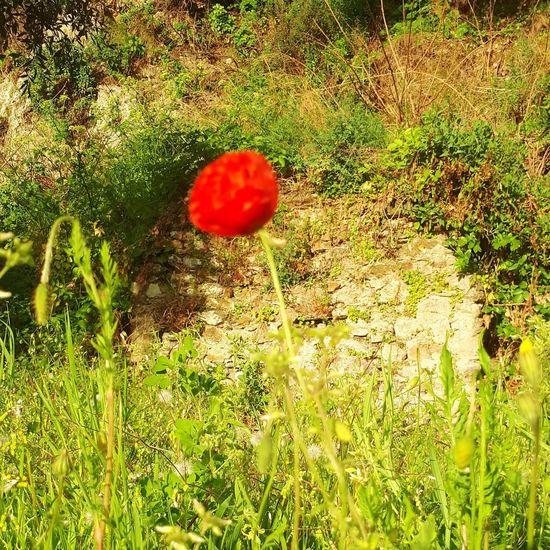 Poppy Flowers Red Field Grass