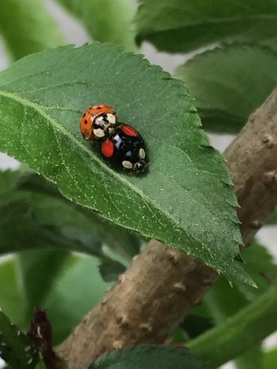 Marienkäfer auf Holunder Sambucus Nigra Elder Tree Elderflower Insect Invertebrate Animal Themes Animal Wildlife Animal Animals In The Wild Plant Part Ladybug Beetle Leaf Close-up Outdoors Green Color Nature