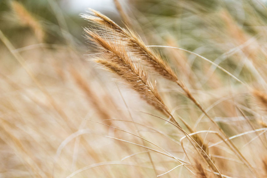 This grain type is home-grown by the monks of a small monastery in Germany. Close-up Corn Diagonal Farm Field Grain Grass Growing Growth Harvest Healthy Meadow Nature Nature New Life Pastel Power Plant Potential  Pure Resources Seed Soft Colors  Soft Light Weed Weeds