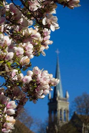 Spring Bern Switzerland Flowers Church In The Background Blossom Pink Flowers Blue Sky