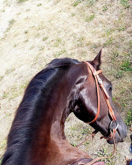 Morgan Horse Morgan Horse Wild Animal Sand Shadow Brown Horse Close-up Working Animal