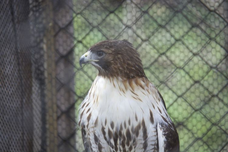 Close-up red-tailed hawk in cage