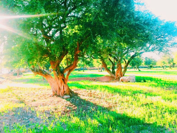 An amazing argan tree. This tree is from where they get moroccan oil . Tree Tree And Sky Argan Oil Argan Trees Argan Du Moroc Argan Oil Maroc Naturephotography Nature مغرب مدينتي سماء شجره شجر اركان