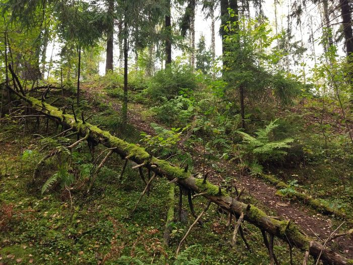 Forest Tree Forest Growth Nature Tree Trunk Tranquil Scene Green Color Tranquility Non-urban Scene Scenics Beauty In Nature WoodLand Tourism Travel Destinations Branch Plant Moss Outdoors Green Wilderness