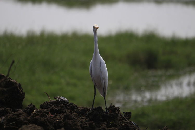 Animal Themes Bird Bird Photography Bird Posing Birds Close-up Day Focus On Foreground Nature One Animal Outdoors Pose White Bird White Crane