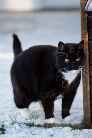 Animal Themes Black Cat Photography Cat In Snow Close-up Cold Temperature Day Domestic Animals Domestic Cat Feline Focus On Foreground Mammal Nature No People One Animal Outdoors Photography Pets Portrait Snow Tuxedo Cat