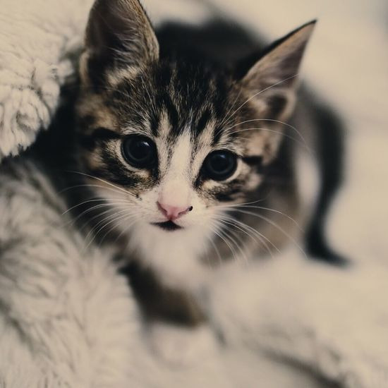 Domestic Cat Domestic Animals Animal Themes Pets Looking At Camera Portrait One Animal Feline Whisker Mammal Cat Selective Focus Close-up Focus On Foreground Kitten Animal Head  Zoology Animal Eye Whiskers No People