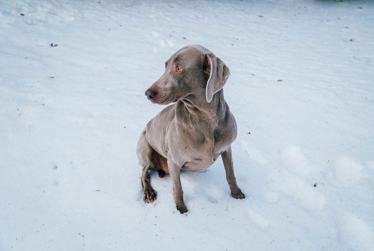 Weimaraner on field during winter