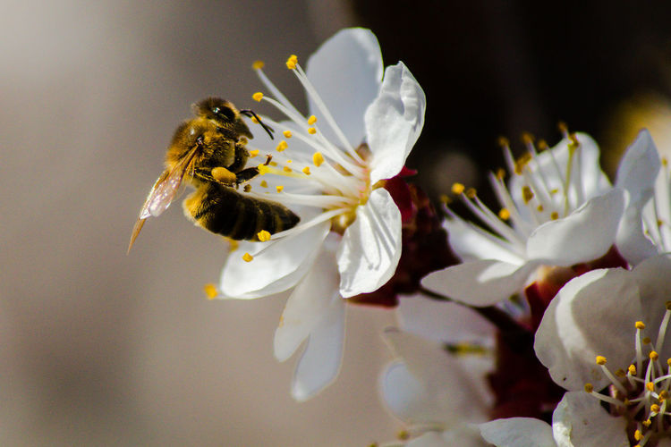 Bee Bee Peach