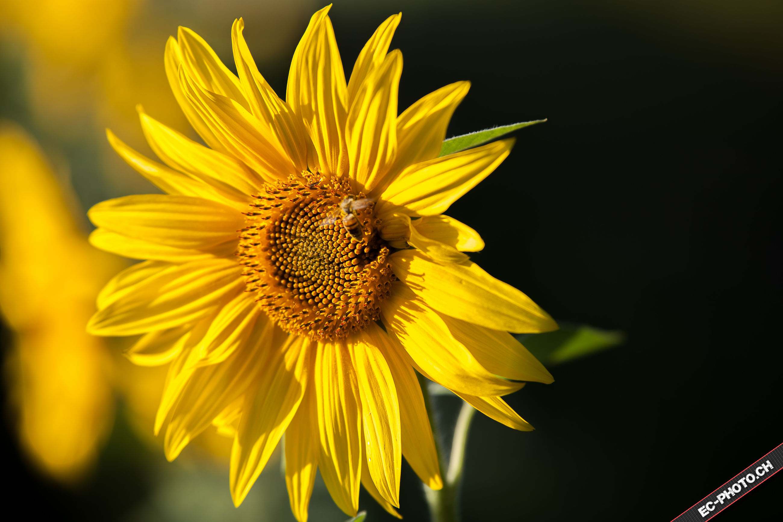 flower, freshness, fragility, petal, flower head, yellow, insect, one animal, animal themes, animals in the wild, wildlife, beauty in nature, close-up, single flower, growth, springtime, plant, pollination, sunflower, bee, nature, blossom, vibrant color, in bloom, focus on foreground, pollen, daisy, perching, day, honey bee, symbiotic relationship, botany, zoology, blooming