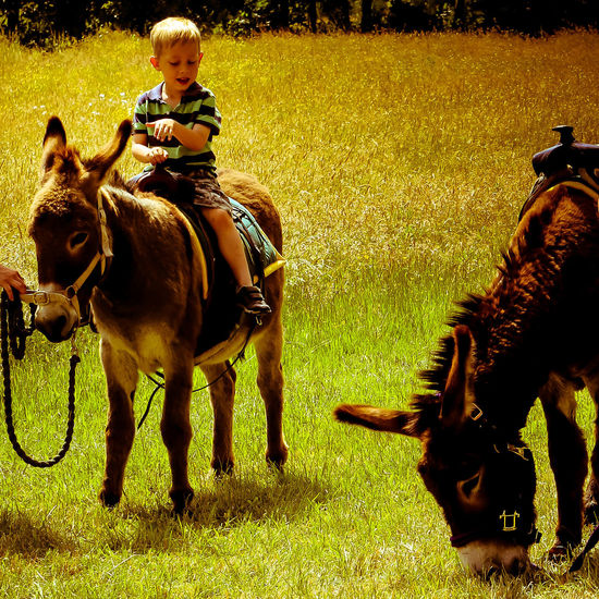 2 Donkeys Bright Colours Donkey Rides Donkey Rides In Countryside English Tradition Kid On Donkey Little Boy On Donkey Paula Puncher Summer Summertime