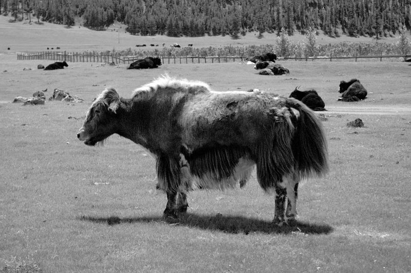 Mongolia Yak Animal Animal Themes Animal Wildlife Black And White Day Environment Herbivorous Herd Land Landscape Livestock Mammal Nature No People Outdoors Steppe Монгол улс