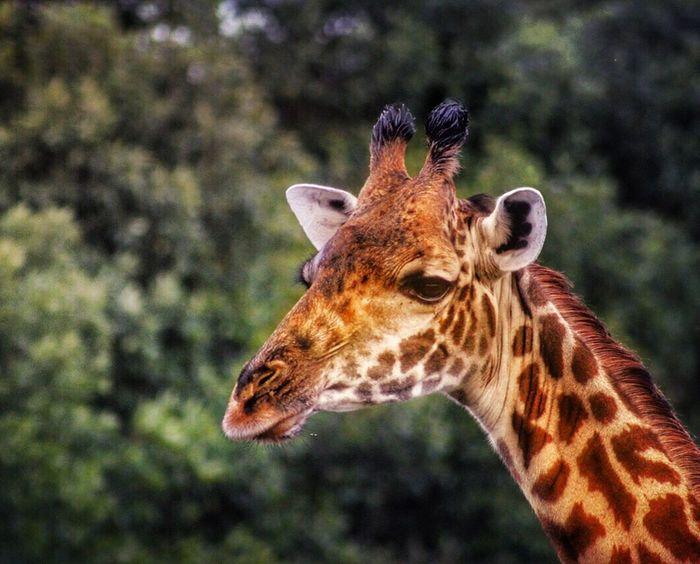 A Giraffe Giraffe Africa Wildlife Nature Photography Africananimals EyeEm Best Shots Wildlife Photography Eyeyem Travel Collection