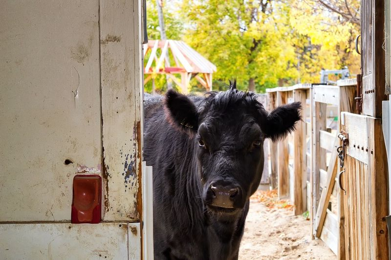Domestic Mammal Domestic Animals Pets Livestock Animal Themes Animal Vertebrate One Animal Black Color Day Cattle No People Looking At Camera Portrait Cow Domestic Cattle Farm Herbivorous Animal Wildlife Stable Outdoors Animal Head  Animal Pen