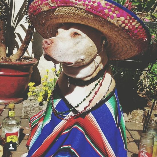 Cinco de Mayo 😂 Funnydogs Pitbull Beautifuldog Awesome Performance Aribaaaaaa