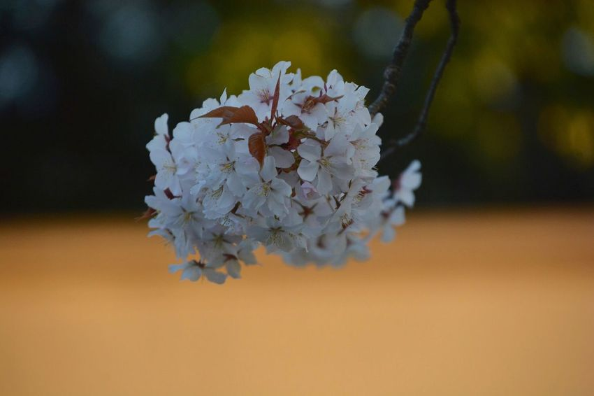 "SAKURA "" at Kotta Gawa 👉 click 👉 https://youtu.be/vaXJsZZlBl4 EyeEm Best Shots First Eyeem Photo Flower Flowering Plant Plant Beauty In Nature Fragility Vulnerability  Freshness Growth Petal Close-up Focus On Foreground Nature White Color No People Flower Head"