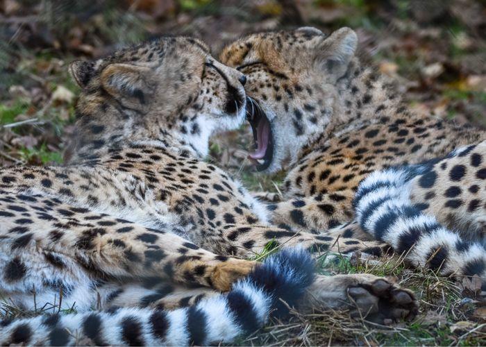 Cheetah Animals
