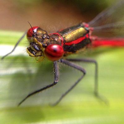 #damselfly #improvedimage Macro Insect Bug Damselfly Improvedimage Odonata