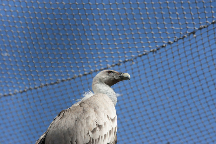 Low angle view of vulture in cage against blue sky
