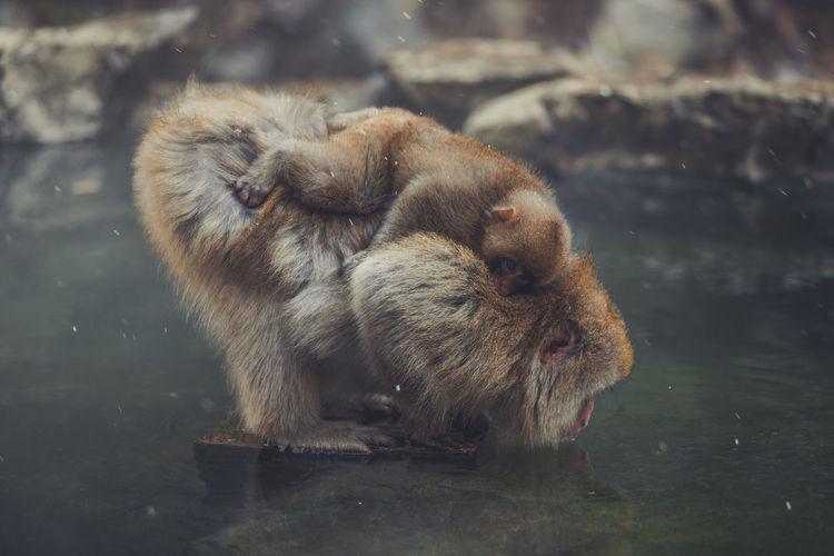 Monkeys in a lake