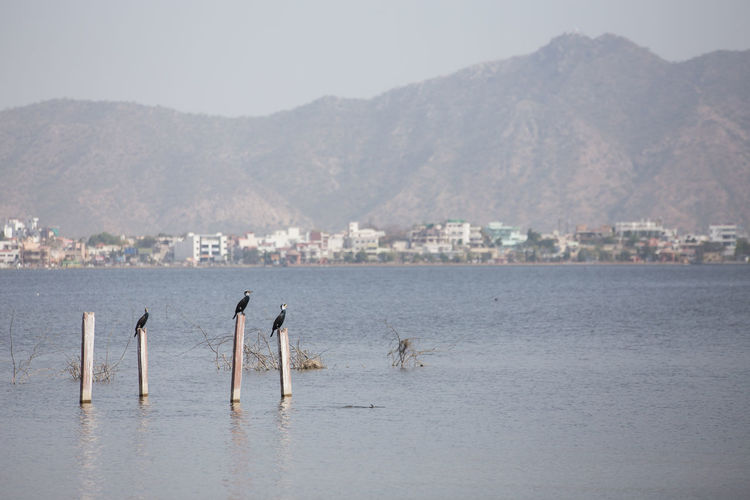 Birds perching on wooden posts in lake against cityscape and mountains