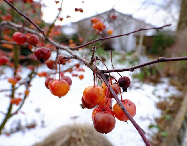 Fruit Healthy Eating Focus On Foreground Freshness Nature Outdoors Winter Red Branch No People