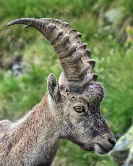 Mountain Alps Outdoors Hiking Orobie Steinbock Stambecco Natureshots Canonphotography Naturephotography Valbrembana Naturelovers Nature Prealpi Trekking Italy Alpine Canon Close-up