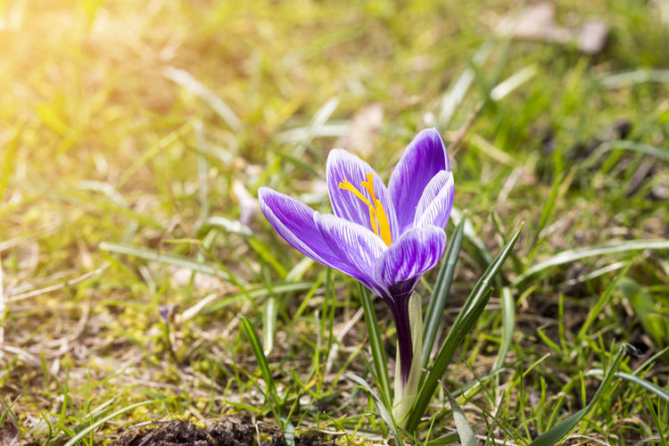 Flower Spring Springtime Season  Easter Nature Bud Blossom Outdoors Flowering Plant Plant Freshness Beauty In Nature Fragility Vulnerability  Petal Growth Crocus Iris Purple Close-up Flower Head Inflorescence Land Field No People Grass Pollen