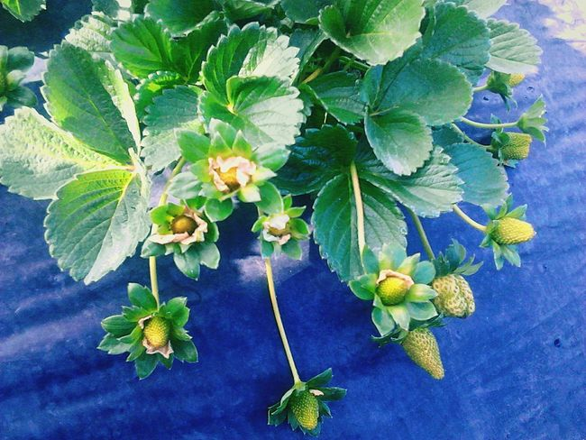 Strawberry plantation! Guatemala flower Plant Nature Beauty In Nature Fragility No People Day Leaves And Flowers Leaves And Colors Green Leaves Strawberries Fruits